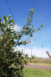 This will be the final harvest of apples, plums and peaches and pears from Sandra Ewart's orchard, if Ameren has its way. The power company plans to clear-cut the dwarf orchard as part of its vegetation management program.